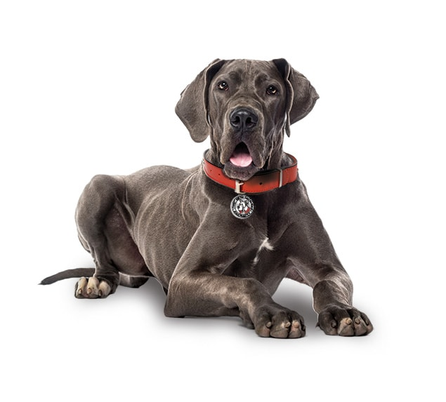 A brown great dane.